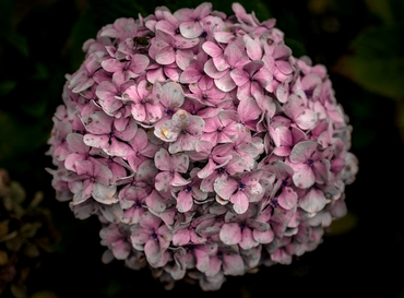 Pink hydrangea wedding bouquet